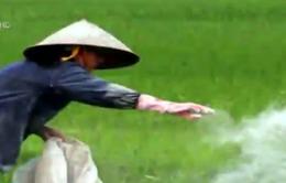 Người nông dân đang lầm tưởng về tác dụng của xi măng với... cây lúa