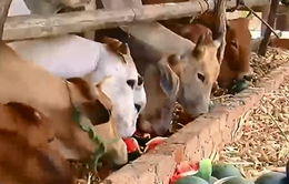 Nông dân Gia Lai trắng tay vì dưa hấu mất cả mùa lẫn giá