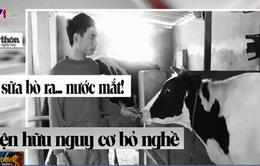 Đừng để người chăn nuôi đang vắt sữa bò ra... nước mắt!
