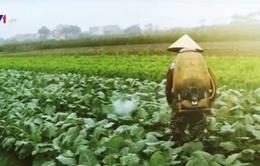 Rau không an toàn được sản xuất ở ngay vùng... rau sạch
