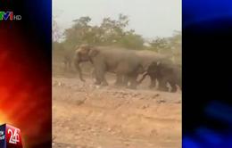 Đắk Lắk: Hàng chục con voi đổ bộ xuống buôn làng tìm nước