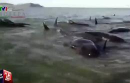 Hàng loạt cá voi chết do mắc cạn tại bờ biển Mexico
