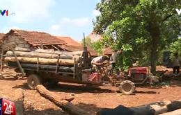 Báo động tình trạng người dân phá rừng, trồng tiêu tại Đăk Lăk