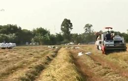 Xuất khẩu gạo gặp khó vì chất lượng nguyên liệu giảm