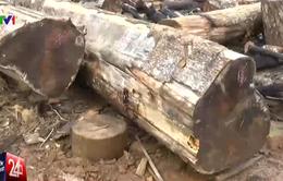 Phát hiện nhiều sai phạm trong khai thác rừng tại Lâm Đồng