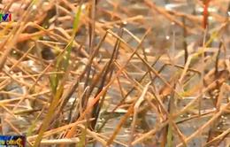 """Đau lòng """"xung đột"""" giữa cây lúa và con tôm tại Kiên Giang"""