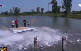 Cá tra Việt gặp khó vì thương lái Trung Quốc