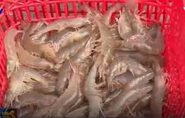 Ứng dụng công nghệ sinh học để nuôi tôm sạch