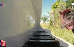 Dạy gà... chơi đàn piano tại Pháp