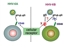 Phát hiện virus HHV-6A có thể gây vô sinh ở phụ nữ
