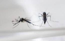 Muỗi biến đổi gen - giải pháp ngăn chặn virus Zika