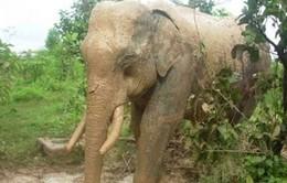 Đằng sau hiện tượng voi rừng liên tục xuất hiện và quật chết trâu, bò tại Sơn La