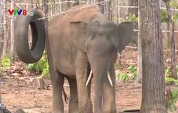 Tổ chức Động vật châu Á hỗ trợ 50.000 USD bảo vệ đàn voi Việt Nam