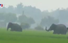 Voi rừng lại quật chết người ở Ấn Độ