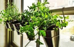 Trồng rau gia vị tại nhà: Một công đôi việc