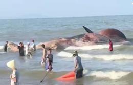 Xác cá voi 7 tấn trôi dạt vào biển Nghệ An