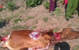 Phú Yên: Người dân hoang mang trước tình trạng trộm bò xẻo thịt