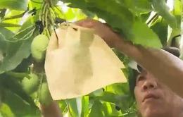 Đồng Tháp bác tin xoài bao trái bị nhiễm độc