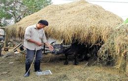 Cây rơm - Mô hình chống rét hiệu quả cho gia súc ở vùng cao