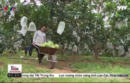 Nông dân Nghệ An hái ra tiền nhờ bưởi Hồng Quang Tiến