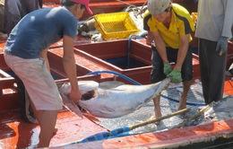 Khánh Hòa: Sản lượng cá ngừ đại dương đạt thấp