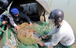 """Hà Tĩnh: Rùa """"khủng"""" dính lưới ngư dân"""