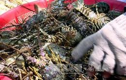 Phú Yên: Khuyến cáo về môi trường nuôi tôm hùm chưa cải thiện