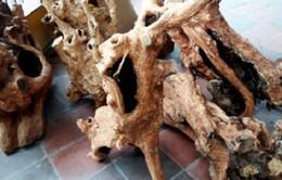 Thủ tướng yêu cầu Quảng Bình xử lý dứt điểm vụ khai thác gỗ hương giáng