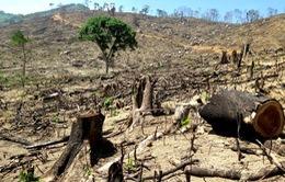 Khởi tố vụ phá rừng tự nhiên tại Bình Định