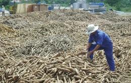 Người trồng sắn loay hoay trước thị trường