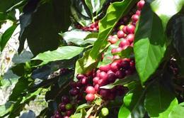 Đề xuất áp thuế tiêu thụ đặc biệt lên cà phê chế biến có hợp lý?