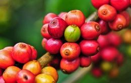 """Vai trò """"bà đỡ"""" của doanh nghiệp trong chuỗi giá trị cà phê"""