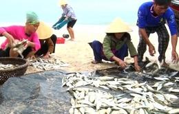 Ngư dân Thanh Hóa được mùa cá trích