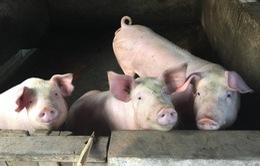 """Sự kiện nổi bật trong tuần: Bộ, ngành vào cuộc """"giải cứu"""" thịt lợn"""