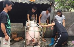Thanh Hóa: Nhiều giải pháp thúc đẩy xuất khẩu thịt lợn