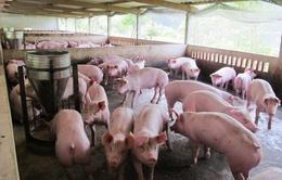Giá lợn hơi tại Đông Nam Bộ tiếp tục giảm