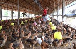 Tiền Giang: Giá gà thấp nhất trong 3 năm qua