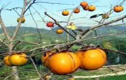 Lạng Sơn: Nâng cao giá trị hồng vành khuyên