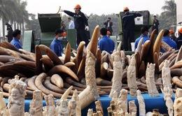 Trung Quốc cấm bán ngà voi từ 31/12