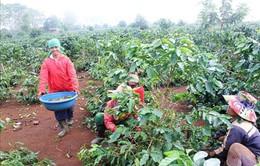 Quảng Trị công bố đề án tái canh cây cà phê