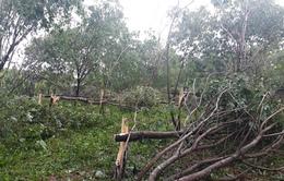16.000 ha cao su tại Quảng Bình bị thiệt hại do bão số 10