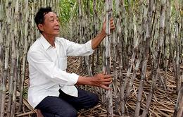 Nông dân trồng mía ở Hậu Giang lo lắng vì nước lên sớm