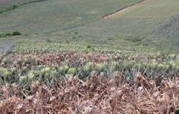 Thanh Hóa: Hơn 24.000 cây dứa bị hủy hoại sau một đêm