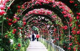 Người dân Thủ đô sắp được đắm mình trong sắc hoa hồng Bulgaria