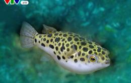 Bình Thuận: Ăn cá nóc, 6 người bị ngộ độc