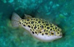 Cá nóc xuất hiện nhiều - Tín hiệu tốt cho tầng đáy biển Bắc Trung Bộ