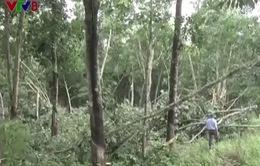 Hơn 100 ha cao su tại Nghệ An gãy, đổ do lốc xoáy