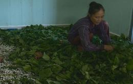 Bảo Lộc, Lâm Đồng - vùng trồng dâu nuôi tằm lớn nhất cả nước