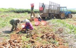 """Nông dân Kon Tum nhận """"trái đắng"""" từ trồng sắn năng suất cao"""
