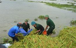 Long An: Bộ đội giúp dân cắt lúa chạy lũ